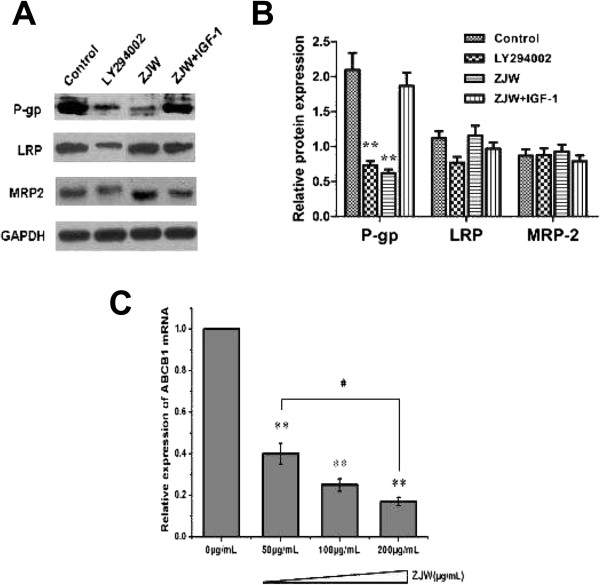 ZJW inhibits P-gp expression and the effect of the PI3K/Akt pathway. (A) Western blotting assay was carried out to detect the level of P-gp, LRP, and MRP-2 in HCT116/L-OHP cells treated with LY294002 (20 μM, 2 h), ZJW (50 μg/mL, 48 h), and a combination of ZJW (50 μg/mL, 48 h) and IGF-1 (100 ng/mL, 48 h). GAPDH was used to ensure equal loading of proteins in each lane. (B) Blots were photographed and quantitated; the data are from three independent experiments. (C) Real-time PCR was performed to detect ABCB1 mRNA in vivo . Quantification of ABCB1 mRNA was performed by assigning a value of 1 to the control group treatment with ZJW (50 μg/mL). Statistical difference was analyzed by student's t -test, ** P