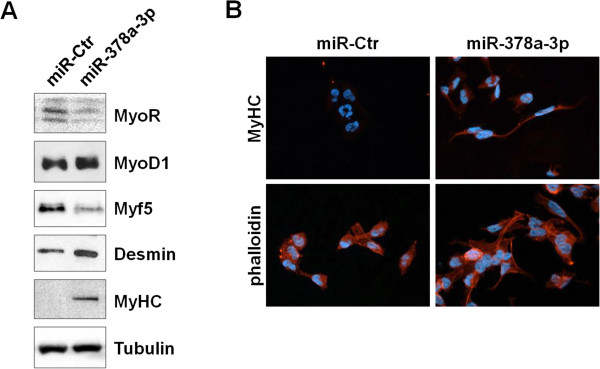 miR-378a-3p activates myogenic differentiation. (A) Immunoblot experiments. RH30 cells transfected with miR-378a-3p mimics or miR-Ctr were analysed for the expression of myogenic differentiation markers. Increased levels of <t>MyoD1</t> (1.6-foldchange by densitometry), desmin and MyHC proteins and down-regulation of MyoR and Myf5 factors were evident. Tubulin served as protein loading control. (B) Immunofluorescence analysis. MiR-378a-3p ectopic expression evoked noticeable changes in RH30 cell morphology, a more organized actin and myosin arrangement, as visualised by TRITC-phalloidin staining, and a significant positivity for anti-MyHC antibody (100× magnification).