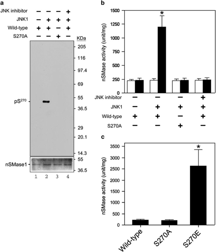 Phosphorylation and activation of nSMase1 by JNK in vitro . ( a ) The serine-270 phosphorylation of nSMase1 by JNK in vitro . Mouse JNK1 was used for an in vitro kinase assay using [ γ - 32 P]-ATP and either nSMase1 (wild-type) or mutant protein (S270A) as the substrate. The reactions were incubated at 30 °C for 30 min with or without 2 ng of mouse JNK1 and in the presence (+) or absence (−) of 10 μ M SP600125. Recombinant proteins from each reaction were separated on 10% SDS-polyacrylamide gels and transferred to PVDF membranes. Phosphorylated nSMase1 was detected by autoradiography (upper panel). The levels of substrate protein present in each reaction was determined using Coomassie Brilliant Blue R-250 staining (lower panel). ( b ) The effect of phosphorylation on the activation of nSMase1. The nSMase activity in each column is shown. After the in vitro kinase assay, the postreaction mixture was analyzed in an nSMase enzymatic assay using C 6 -NBD-sphingomyelin (black columns). White columns indicate the basal enzyme activity before the kinase assay. The basal enzyme activities of the recombinant nSMase1 (wild-type) and nSMase1 mutant (S270A) were 22.4±0.48 and 22.6±0.35 μ mol/mg/h, respectively. Column 1, nSMase1 wild-type; column 2, nSMase1 treated with JNK; column 3, nSMase1 mutant (S270A) treated with JNK; column 4, nSMase1 treated with JNK in the presence of a JNK inhibitor. The enzyme activity after JNK treatment (black column 2) was 120.1±21.4 μ mol/mg/h. Each value represents the mean of three independent experiments, and the error bars represent the S.D.s. * P