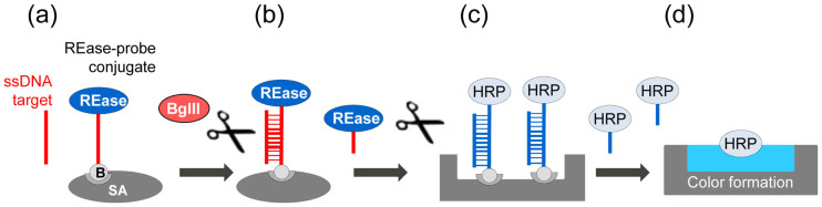 General schematic of the assay used for REase conjugate testing. (a) An oligonucleotide probe specific for a target of interest is conjugated to a mutant REase (either the S17C BamHI or K249C EcoRI), and attached to a solid surface using biotin. An oligonucleotide target complementary to the probe is added, and it hybridizes to the probe. (b) The hybrid is specifically cleaved by a free REase BglII that is added to the reaction solution. The mutant REase is subsequently released into the solution. (c) The reaction solution is transferred to a chamber containing an HRP conjugate immobilized through a dsDNA linker containing the recognition sequence of the mutant REase. The addition of the released REase generated in (b) catalyzes the linker cleavage and HRP release. (d) The released HRP is quantified colorimetrically.