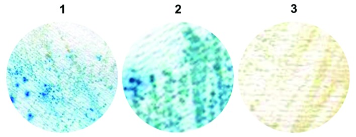 Assays to detect β-galactosidase (β-gal) activity after mating. Panel 1, blue colonies on Whatman filter paper after mating between Y187-pACT2-COXIII and AH109-pAS2-1-X; panel 2, blue colonies on Whatman filter paper after mating between Y187-pACT2-COXIII and AH109-pAS2-1-X2; panel 3, white colonies on Whatman filter paper after mating between Y187-pACT2-COXIII and AH109-pAS2-1-X1.