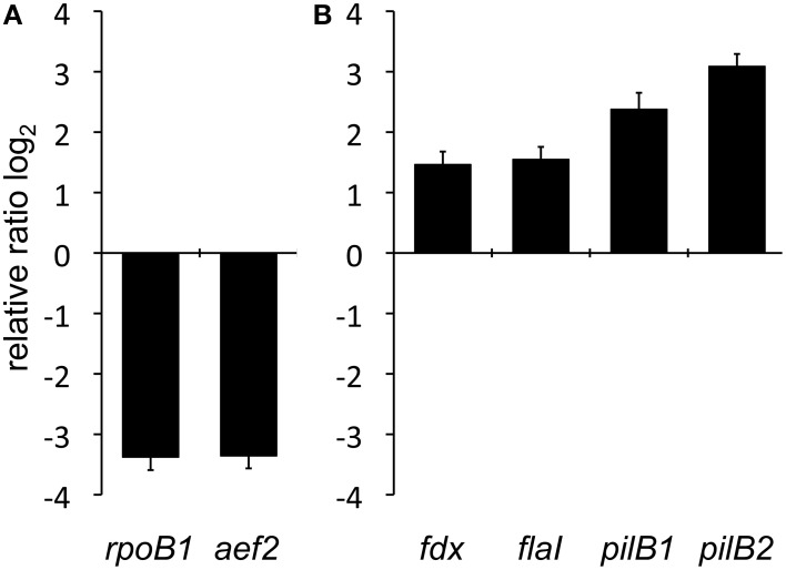 Comparative qRT-PCR analyses of planktonic and surface attached cells. (A) Investigation of two representative housekeeping genes encoding RNA polymerase subunit B' ( rpoB1 ) and the translation elongation factor 2 ( aef2 ). Relative expression was normalized to external standard bgaH RNA. (B) Relative transcriptional quantification of the assembly ATPase encoding genes of the archaellum ( flaI ) and the type IV pilus biogenesis complexes pil-1 ( pilB1 ) and pil-2 ( pilB2 ) as well as the constitutively expressed ferredoxin gene ( fdx) . The bars represent the fold change of gene expression shown in base 2 logarithmic scale in adherent cells compared to the planktonic state, which is defined by the baseline.