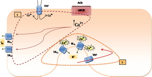 Summary of suggested pathways for the activation of K Ca channels and generation of EDHF. ACh leads to a global increase in [Ca 2+ ] i as a consequence of Ca 2+ release from inositol trisphosphate (IP 3 ) sensitive Ca 2+ stores within endothelial cells. The rise in [Ca 2+ ] i triggers the activation of IK Ca and SK Ca and consequently the generation of EDHF response. Depletion of intracellular stores triggers Ca 2+ entry via TRP channels, which consequently participates in the global increase of [Ca 2+ ] i .(1). K Ca are possibly localized in close vicinity to TRP channels. The opening of TRP channels maintains some level of localized increase in [Ca 2+ ] i , which is essential for K Ca channels to be activated by NS309 (2).