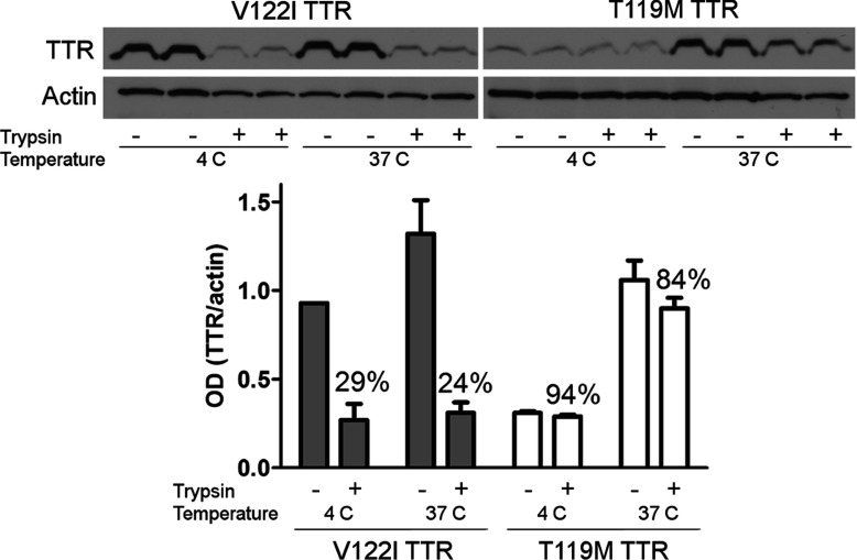 Differential interaction of the amyloidogenic V122I TTR and the non-amyloidogenic T119M TTR with the human cardiac cell line AC16 AC16 cells were treated with trypsin (or HBSS as control) to remove membrane-associated proteins. V122I and T119M TTR were then incubated with the cells for 4 h at 4°C or 37°C. Cell lysates were prepared and analysed by SDS—PAGE (15% gel) and Western blot using an anti-TTR and anti-actin antibodies. The lower panel shows densitometry analysis (absorbance) of total cell-associated TTR normalized to actin. Error bars represent S.D. of the biological duplicates. The percentage of TTR/actin ratio in cells pre-treated with trypsin (trypsin +) with respect to control cells (trypsin −) is shown.