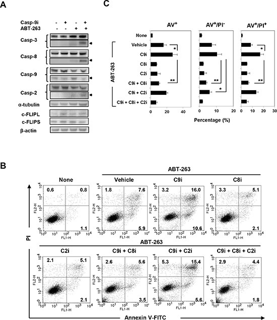 Analysis of caspase-8-dependent ABT-263-induced apoptosis of PC3 cells under caspase-9 inhibition (A) PC3 cells were treated with a caspase-9 inhibitor (20 μM) and/or ABT-263 (4 μM). After 24 h, cells were harvested and cell lysates assayed for their expression of caspase-3, -8, -9, -2, and c-FLIP by immunoblot. α-tubulin and β-actin were used as loading controls. (B) PC3 cells were treated with both DTX (2.5 nM) and ABT-263 (4 μM) in the presence of the indicated caspase inhibitors. After 24 h, cells were stained with FITC-conjugated Annexin V and PI, and flow cytometry was performed. The numbers represent the percentages of each subset. (C) The results are shown as the means + SD of three samples. * P