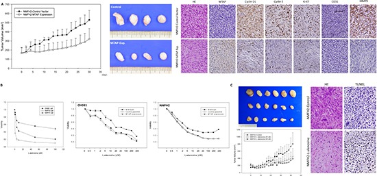 In vivo tumor suppressive function of MTAP and the inhibition of L-alanosine in MTAP-deficient myxofibrosarcoma (A) The average tumor volume of the empty vector-transfected NMFH-2 xenografts was significantly larger than that of the MTAP-reexpressing counterparts (left) . On Day 30, the excised xenografts were grossly larger and heavier in the control group than in the MTAP-reexpressing group (middle) . Histologically, control xenografts (upper panel) comprise MTAP-deficient high-grade pleomorphic sarcoma cells that exhibit frequent mitotic figures, the increased expression of cyclin D1, cyclin E, Ki-67, and MMP-9, and an increased microvascular density based on CD31 staining. However, contrasting results were observed in the MTAP-reexpressing group (lower panel), which exhibited low-grade MTAP-expressing spindle cells (right) . (B) L-alanosine effectively attenuated the viability of MTAP-deficient NMFH-2 and <t>OH931</t> myxofibrosarcoma cell lines, and MTAP-expressing NMFH-1 cells were relatively resistant to L-alanosine, demonstrating > 50% viable sarcoma cells, even at 100 μM (left) . Unlike the sensitivity in the parent lines and empty controls, MTAP reexpression caused decreased susceptibility to L-alanosine in the OH931 (middle) and NMFH-2 (right) cells. (C) The average tumor volume was significantly larger in the <t>PBS-treated</t> group than in the groups treated with 25 μM and 50 μM of L-alanosine (left) . On Day 42, the excised xenografts remained macroscopically larger and heavier in the control group, exhibiting no dose-dependent difference between the groups treated with 25 μM and 50 μM of L-alanosine (middle) . In contrast to the high-grade pleomorphic histology in the control xenografts lacking apparent apoptosis, the L-alanosine-treated group exhibited increased numbers of fibrohyaline collagen fibers and TUNEL-labeled apoptotic cells (right) .