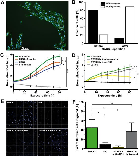 NTRK1-positive neuroblastoma cells attract Schwann cells and induce their proliferation by secreting NRG1 (A) Dual immunofluorescence staining using anti-rat NGFR primary antibody followed by goat anti-mouse IgG-FITC secondary antibody and DAPI counterstaining in Schwann cells in short-term culture from P3 rats (scale bar 50μm). (B) Bars represent the fractions of NGFR-positive and -negative cells from the total population of Schwann cells before and after positive selection using anti-rat NGFR primary antibody and rat anti-mouse IgG1 microbeads. (C) Growth curves of Schwann cells over a period of 80h as detected by electric cell-substrate impedance sensing in real-time following addition of medium conditioned by SY5Y-NTRK1 cells (NTRK1 CM), recombinant NRG1 + forskolin (NRG1 + forskolin), recombinant NRG1 (NRG1) or medium without additives (no additives). (D) Growth curves of Schwann cells over a period of 80h as detected by electric cell-substrate impedance sensing in real-time following addition of medium conditioned by SY5Y-NTRK1 cells (NTRK1 CM), medium conditioned by SY5Y-NTRK1 cells supplemented with anti-NRG1 isotype control (NTRK1 CM + isotype ctrl) or anti-NRG1 antibody (NTRK1 CM + anti-NRG1) or medium conditioned by SY5Y-vec cells (vec CM). For all growth curves in (C) and (D), cell index was normalized each at a base-time of 24h following plating of Schwann cells using an RTCA software-based algorithm. *p
