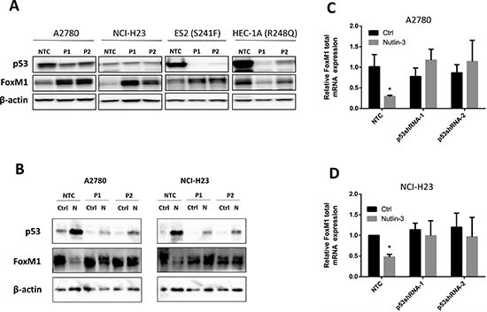 Endogenous wild type p53 suppresses FoxM1 expression whereas R248Q mutant p53 enhances FoxM1 expression (A) Effects of p53 knockdown using shRNAs on FoxM1 protein expression in p53 WT A2780, NCI-H23, and p53 mutant HEC-1A and ES2 cell lines. Endogenous FoxM1 is upregulated when wild type TP53 is knocked down by two shRNAs in A2780 and NCI-H23 cells. Similarly, downregulation of S241F mutant TP53 also upregulate FoxM1 expression, suggesting that S241F mutant retains negative regulatory effect on FoxM1 expression. In contrast, downregulation of R248Q in HEC-1A cells downregulates FoxM1 expression, suggesting that R248Q mutant may have gain of positive regulatory effect of FoxM1 expression. Proteins were isolated from p53 shRNA batch clones and subjected to Western analysis. β-actin was used for normalization of loading. (B) p53 knockdown using shRNAs blocks the downregulation of FoxM1 protein expression by Nutlin-3 in A2780 and NCI-H23 cells. Cells were treated with or without Nultin-3 for 24 h. Proteins were then isolated and subjected to Western analysis. β-actin was used for normalization of loading. (C-D) p53 knockdown blocks the downregulation of FoxM1 mRNA by Nutlin-3 in A2780 and NCI-H23 cells. Cells were treated with or without Nultin-3 for 24 h. Total RNA was isolated and subjected to real-time RT-PCR analysis. GAPDH was used for normalization of FoxM1 expression. Data are presented as Mean ± SD of 3 experiments. * indicates P