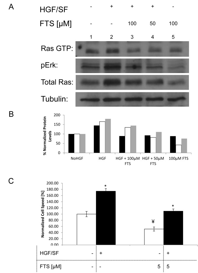 Effect of Ras inhibition on HGF/SF-induced Ras-ERK signaling and cell motility (A), DA3 cells were treated with vehicle (DMSO 0.1% control) or with HGF/SF (80ng/mL), 50 μM FTS+HGF/SF, 100 μM FTS +HGF/SF or 100 μM FTS. After 24h, the cells were lysed and the lysates were subjected to immunoblotting. These results demonstrate that HGF/SF activates Met downstream signaling via the ERK and Ras pathways, while FTS inhibits both basal level signaling and HGF/SF induced signaling via Ras and ERK. The bottom tubulin panel was used as the loading control. (B), Histogram of the protein expression levels, normalized to tubulin. Black bars represents the intensity of Ras GTP in the different samples, white bars represent pERK and gray Bars represent total Ras. (C), a scratch assay was performed by growing DA3 cells to confluency and then scratching the monolayer. Cell media was then exchanged to serum starvation media containing the different treatments. The cells were treated as following: vehicle (DMSO 0.1% control) or with HGF/SF (80ng/mL), 5 μM FTS, 5 μM FTS +HGF/SF. Cell motility rates are compared in the graph that demonstrates that HGF/SF activation of Met increases cell motility (n = 14, P