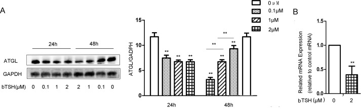 TSH decreased ATGL expression in mature differentiated cells. (A) On D12, the cells were treated with 0.1 μM bTSH, 1 μM bTSH or 2 μM bTSH for 24 h or 48 h in serum-starved DMEM. Proteins were separated by SDS-PAGE and immunoblotted for ATGL and GAPDH. Values are quantified by densitometry and normalized with GAPDH. Representative Western blot results are shown. (B) Total RNA was extracted from differentiated cells treated with 2 μM bTSH for 48 h in serum-free DMEM. ATGL mRNA levels were determined by real-time PCR and normalized with β-actin. Values are reported as the fold change relative to the control group. The data are from 3 independent experiments and are presented as the mean ± SD. ** p