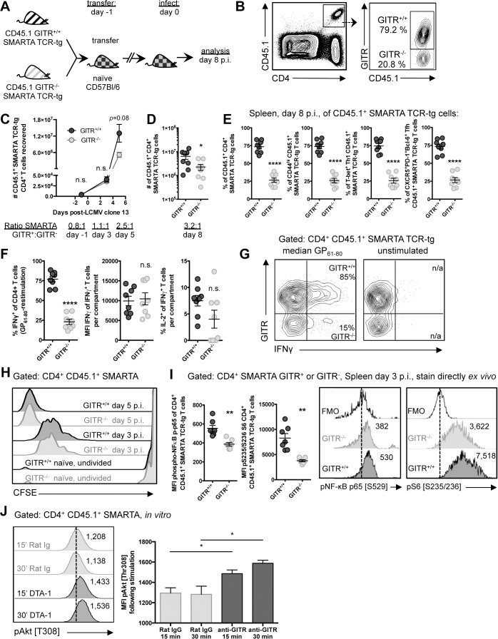 GITR co-stimulation activates classical NF-κB and the Akt-mTORC1 signaling axis to regulate CD4 T cell accumulation post-priming. (A, B) C57BL/6 mice received a 1:1 mixture of GITR +/+ and GITR -/- SMARTA, and were infected the following day with LCMV cl 13. At day eight p.i., proportions of GITR + and GITR- cells were evaluated, with gating strategy shown in B. (C) 10 6 or (D) 10 4 GITR +/+ and GITR -/- CFSE-labeled CD45.1 + SMARTA from F2 littermates were co-transferred into naïve CD45.2 C57BL/6 mice one day prior to LCMV cl 13 infection. The total numbers of GITR + and GITR- SMARTA cells in the spleen at different time points following LCMV cl 13 infection are shown. Each symbol in C shows mean ± SEM of at least two to three mice per group, representative of at least two experiments per time point. (E) Proportions of GITR + and GITR- of: total, CD44 hi , T-bet + Th1, and Tfh SMARTA were evaluated in the spleen at day eight p.i. (F) The proportions of IFNγ + or IFNγ + IL-2 + , and the quantity of IFNγ produced per cell were evaluated in GITR + and GITR - SMARTA CD4 T cells following five hours of GP 61–80 peptide restimulation, with representative staining shown in G. (H) 10 6 GITR +/+ and GITR -/- CFSE-labeled CD45.1 + SMARTA from F2 littermates were co-transferred into naïve CD45.2 C57BL/6 mice. At days three and five p.i., CFSE dilution was evaluated. (I) 10 6 GITR +/+ and GITR -/- CD45.1 + SMARTA from F2 littermates were co-transferred into naïve CD45.2 C57BL/6 mice as in A. At day three post-infection, cells were stained directly ex vivo for (p) p65 NF-κB pSer529 and (p)S6 ribosomal protein pSer235/236. (J) Activated GITR +/+ SMARTA were expanded for two days and then serum starved for 12 hours prior to engaging with 10μg/mL anti-GITR (cone DTA-1) or Rat IgG, followed by evaluation of phosphorylation at Thr308 of Akt. MFI of pThr308 following stimulation is shown, representative of three independent experiments. Numbers adjacent to the representative histograms of I and J are median MFI values. Each symbol in D–G represents an individual mouse, with bars indicating mean ± SEM. Data are pooled from two experiments with a total of eight mice. Data in H show a single representative experiment with two-three mice per group, with at least two independent repeats. Data in I are pooled from two independent experiments with a total of seven mice.