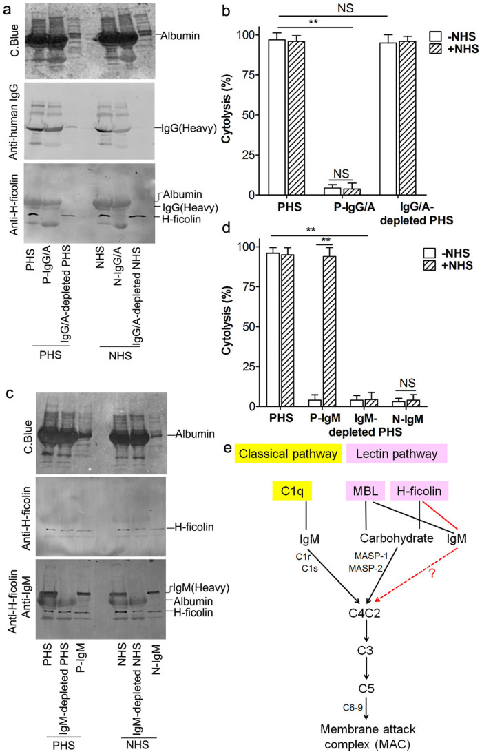 IgM but not IgG was involved in H-ficolin–mediated complement activation pathway. (a) The purified IgG/albumin (P-IgG/A) and the IgG/albumin-depleted PHS or NHS (IgG/A-depleted PHS or NHS) were stained by C. Blue or analyzed by Western blotting. (b) The cell lysing and binding activity of P-IgG/A and IgG/A-depleted PHS were determined. (c) The IgM-depleted PHS or NHS (IgM-depleted PHS or NHS) and the purified IgM from PHS (P-IgM) or NHS (N-IgM) were analyzed. (d) The cell lysing and binding activity of IgM-depleted PHS and P-IgM. (e) Schematic illustration of the IgM–H-ficolin signal pathway in complement activation. (NS indicates p > 0.05, * p