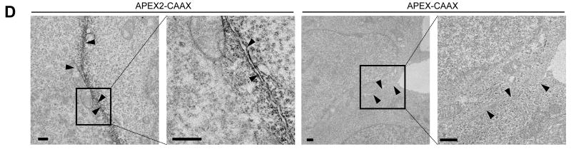 APEX2 has improved cellular activity and sensitivity for proteomic tagging and electron microscopy. ( A ) HEK cells expressing the indicated APEX variant were labeled with biotin-phenol for 1 minute before fixation and staining with streptavidin-AlexaFluor568 (red) to visualize biotinylation sites, and anti-Flag antibody (cyan) to visualize APEX expression. Arrowheads, cells with low APEX2 expression and strong biotinylation. Asterisks, cells with high APEX expression and low biotinylation. DIC, differential interference contrast. Images representative of 25 fields of view. Scale bars, 50 μm. ( B ) Quantitation of experiment shown in (A). > 50 single cells were analyzed across > 16 fields of view for each APEX variant. Mean streptavidin intensities are plotted ± 1 s. d. ( C ) Comparison of proximity dependent biotinylation by APEX2 and APEX. Live HEK cells expressing APEX or APEX2 targeted to the endoplasmic reticulum (ER) membrane (ERM) or outer mitochondrial membrane (OMM) were labeled with biotin-phenol as in (A). After cell lysis, biotinylated proteins were enriched using streptavidin beads and blotted for the endogenous ER and mitochondrial proteins shown. ( D ) Comparison of APEX2 and APEX for EM imaging of HEK cells expressing plasma membrane-targeted constructs. Arrowheads point to plasma membrane. Images representative of > 3 fields of view. Scale bars, 500 nm. For (C) and (D), controls showed that APEX and APEX2 construct pairs were expressed at similar levels (data not shown). ( E ) Purified peroxidases were incubated with 1.4 mM or 0.5 mM guaiacol (a model aromatic substrate 24 , 25 ) to mimic EM and proteomic tagging conditions, respectively. Initial rates (V o ) were measured for a range of H 2 O 2 concentrations. Each plot is representative of 2-5 trials.