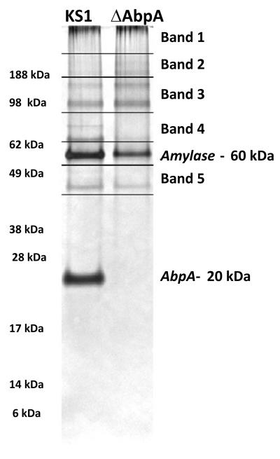 Sample preparation for MS/MS analysis of amylase-precipitated proteins <t>Coomassie-stained</t> gels were cut in the pattern depicted above to get 5 bands/slices per strain. Amylase and AbpA bands were avoided as they are well known from past experiments. The gel bands/slices were placed in microcentrifuge tubes containing 70 μl of double distilled water and sent for <t>nano-LC/MS/MS</t> analysis.