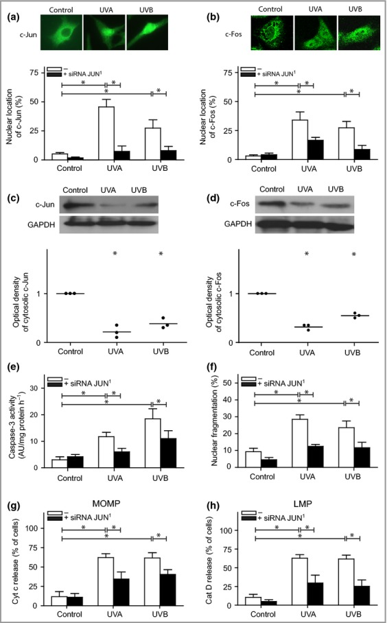 Activator protein-1 signalling in melanocytes following ultraviolet (UV) exposure. Melanocytes pretreated with JUN small interfering (si)RNA (black bars) 24 h prior to UVA (60 J cm −2 ) or UVB (500 mJ cm −2 ) treatment. Quantification of melanocytes showing nuclear staining of (a) c-Jun and (b) c-Fos 4 h after UV exposure. The images were selected to display the characteristic appearance of the nuclear and cytosolic location, respectively. The protein levels and corresponding optical density of (c) c-Jun and (d) c-Fos in digitonin-extracted cytosolic fractions are shown from one representative Western blot out of four. Glyceraldehyde-3-phosphate dehydrogenase (GAPDH) was used as an internal control. (e) Caspase-3 activation was analysed based on the cleavage of the substrate Ac-DEVD-AMC, 16 h postirradiation [expressed as arbitrary unites (AU) per mg protein and hour] and (f) apoptosis was quantified through microscopic inspection of nuclear morphology in 4',6-diamidino-2-phenylindole (DAPI)-stained cells after 24 h. UV-induced (g) mitochondrial outer membrane permeabilization (MOMP), as detected by cytochrome c release, and (h) lysosomal membrane permeabilization (LMP), as detected by the release of cathepsin D (cat D) to the cytosol. The results are presented as the mean ± SD ( n = 4). * P ≤ 0·05 vs. control.