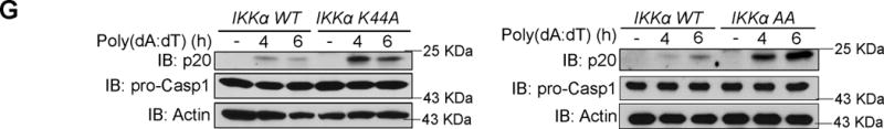"""IKKα is a negative regulator of the inflammasome ( a ) BMDMs from WT and IKKα K44A mice were either left untreated or treated with LPS (1 μg/ml) for 4 hours, 5 mM ATP (30 min), or LPS (1 μg/ml) 4 hours + 5 mM ATP (30 min). Cell lysates and supernatants were collected together and were immunoblotted with the indicated antibodies. ( b ) Cell-free supernatants were collected from BMDMs that were either left untreated, or treated with LPS (1 μg/ml) for 4 hours, Pam 3 CSK 4 (1 μg/ml) for 4 hours, LPS (1 μg/ml) 4 hours + 5 mM ATP (30 min), or Pam 3 CSK 4 (1 μg/ml) 4 hours + 5 mM ATP (30 min). Levels of IL-1β and TNF-α were measured by ELISA. ( c ) BMDMs from WT and IKKα K44A mice were left untreated or treated with LPS (1 μg/ml) for 4 hours, or LPS (1 μg/ml) 4 hours + 5 mM ATP (30 min). Cell lysates were collected and immunoprecipitated with anti-ASC antibody or control IgG antibody, followed by immunoblotting with the indicated antibodies. ( d,e ) BMDMs from WT and either IKKα K44A ( d ) or IKKα AA ( e ) mice were treated with LPS (1 μg/mL) for 0, 10, 30, or 60 minutes, followed by the addition of 5 mM ATP for 30 minutes. ( f ) BMDMs from WT and IKKα K44A mice were infected with Salmonella typhimurium at a multiplicity of infection (MOI) of 50 for 0, 0.5, 1, or 2 hours. Cell lysates and supernatants were then collected together and immunoblotted with the indicated antibodies. ( g ) BMDMs from WT, IKKα K44A ( left panel ) and IKKα AA mice ( right panel ) were transfected with poly(dA:dT) (1.5 μg/ml) using lipofectamine 2000. After indicated times, cell lysates and supernatants were collected together and immunoblotted with the indicated antibodies. N.D. indicates not detectable, and """"UN"""" indicates left untreated. Data are representative of at least five independent experiments. Error bars represent s.e.m. of technical replicates. * P"""