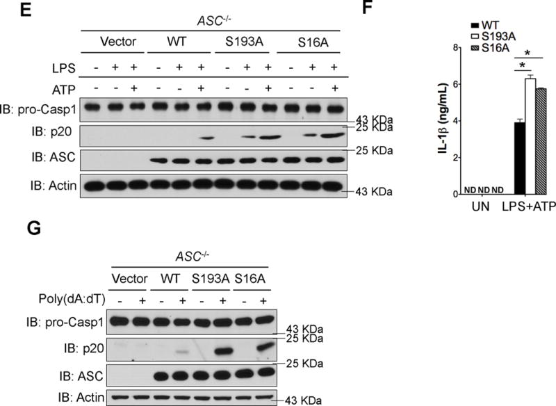 """S193 and S16 are critical residues on ASC for interaction with IKKα ( a ) HEK 293 cells were transfected with HA-IKKα and either WT ASC, S16A ASC, or S193A ASC using lipofectamine 2000. Empty vector was used to normalize total plasmid transfected. Cells were then lysed, followed by immunoprecipitation with anti-ASC antibody and immunoblotting with the indicated antibodies. ( b ) HEK 293 cells were transfected with HA-IKKα or HA-IKKα K44A along with either WT ASC, S16A ASC, or S193A ASC using lipofectamine 2000. Empty vector was used to normalize total plasmid transfected. Cells were then lysed, followed by immunoprecipitation with anti-ASC antibody and in vitro kinase assay. ( c,d ) Immortalized ASC −/− macrophages retrovirally reconstituted with empty vector, WT ASC, S193A ASC, or S16A ASC were either left untreated or treated with LPS (1 μg/mL) for 4 hours, followed by 30 min 5 mM ATP when indicated. Cells were then lysed, followed by immunoprecipitation with anti-ASC antibody and immunoblotting with indicated antibodies ( c ), or cells were then washed, fixed, and stained with anti-ASC antibody and caspase-1 FLICA (FAM-YVAD-FMK). Images were then acquired using confocal microscopy with 60X magnification and 4X enlargement; scale bars are 5 μm ( d ). Images from were quantified by counting the number of cells with ASC specks co-staining with caspase-1 FLICA as a percentage of total cells counted in three fields. ( e–g ) Retrovirally reconstituted ASC −/− macrophages from ( c ) were either left untreated or treated with LPS (1 μg/ml) for 4 hours, followed by 30 minutes of 5 mM ATP when indicated ( e,f ), or were transfected with poly(dA:dT) (1.5 μg/ml) using lipofectamine 2000 for 4 hours ( g ). Cell lysates and supernatants were then collected together and immunoblotted with the indicated antibodies ( e,g ), or were analyzed by ELISA ( f ). N.D. indicates not detectable, and """"UN"""" indicates left untreated. Data are representative of at least four independent experi"""