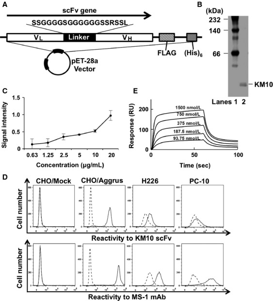 Characterization of KM10 scFv generated from MS-1 mAb. (A) Schematic representation of the generated scFv expression vector. (B) The purity of the used KM10 scFv was analyzed in native PAGE electrophoresis. Lane 1, molecular weight marker; Lane 2, purified KM10 scFv. (C) Bound KM10 scFv in Aggrus-derived P4262 peptide-coated plates were detected using peroxidase-conjugated anti-FLAG antibody. Data are presented as the means ± SDs of triplicate measurements. (D) CHO cells transfected with empty vectors (CHO/Mock) or Aggrus expression plasmid (CHO/Aggrus), as well as H226 and PC-10 cells were treated with 5 μ g/mL of KM10 scFv (upper panels) or MS-1 mAb (lower panels). The cells were then treated with Alexa Fluor 488-conjugated secondary antibody. The broken lines represent the cells treated with secondary antibody alone and the bold lines represent KM10 scFv- or MS-1 mAb-treated cells. (E) The indicated five concentrations of KM10 scFv were passed over the chips containing immobilized recombinant human Aggrus-Fc protein using the Biacore X100 system for protein interaction analysis.