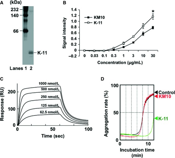 Effect of KM10 and K-11 scFvs on Aggrus-induced platelet aggregation. (A) The purity of the used K-11 scFv was analyzed in native PAGE electrophoresis. Lane 1, molecular weight marker; Lane 2, purified K-11 scFv. (B) Bound KM10 and K-11 scFvs in P4262 peptide-coated plates were detected using peroxidase-conjugated anti-FLAG antibody. Data are presented as means ± SDs of triplicate measurements. * P