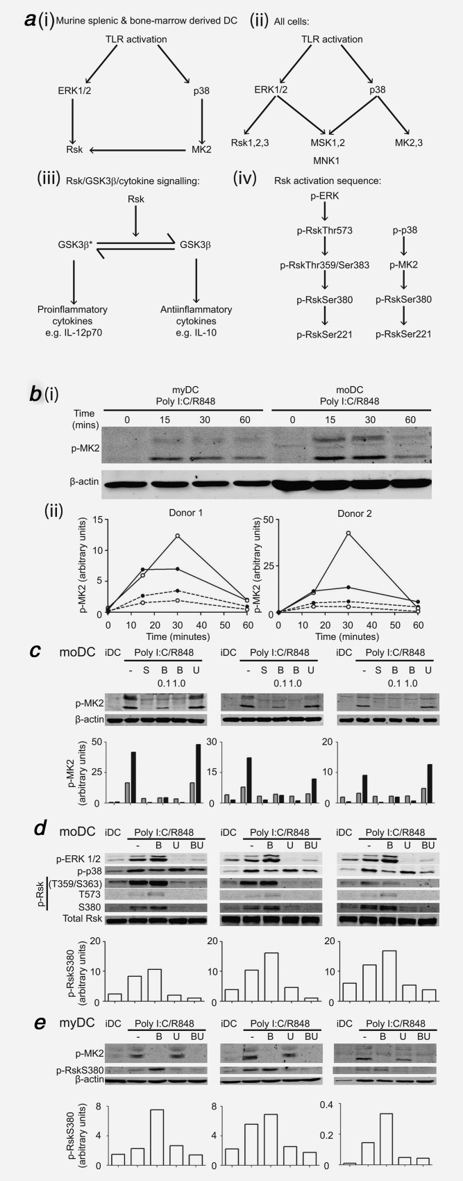 Comparison of intracellular signaling in myDC and moDC after TLR stimulation and effect of blockade of MAPK pathways in healthy donors. ( a ) MAPK/Rsk/GSK3β signaling. ( i ) Activation of Rsk by both ERK and p38 following TLR ligation in murine splenic and bone-marrow derived DC (arrow = activation), ( ii ) Signaling downstream of ERK and p38 in all other cells after TLR ligation where Rsk is only activated by ERK, ( iii ) Rsk drives GSK3β from the active form (GSK3β*) to the inactive form (GSK3β) with downstream effects on IL-12p70/IL-10 secretion, ( iv ) Sequence of phosphorylation/activation of Rsk by phospho-ERK (p-ERK) and phospho-p38 (p-p38). ( b ) Timecourse of MK2 activation following TLR stimulation in myDC and moDC. Donor-matched myDC and moDC (10 5 ) were stimulated with poly I:C/R848 for the indicated times before Western blotting. To allow cell-for-cell comparison between myDC and moDC, entire samples were used in a single Western blot and probed for phospho-MK2 (p-MK2) with β-actin as a loading control. Infrared secondary antibodies were used to allow for semi-quantitative analysis normalized to loading control. ( i ) Scanned images for one donor of two. ( ii ) Normalized p-MK2 for two donors, open circles = myDC, filled circles = moDC, dotted line = upper p-MK2 band, solid line = lower p-MK2 band. ( c ) Effect of blockade of p38 or MEK on MK2 activation following TLR stimulation in moDC. MoDC were pre-treated with p38 inhibitors SB203580 10 µM (S), BIRB0796 (B) 0.1 or 1.0 µM or MEK inhibitor UO126 10 µM (U) for 1hr followed by poly I:C/R848 stimulation for 30 min then Western blotted for p-MK2 with β-actin loading control as in ( b ). Shown are scanned images for three independent donors and graphs of normalized p-MK2 (gray bars = upper p-MK2 band, black bars = lower p-MK2 band). ( d ) Effect of blockade of p38, MEK or both on ERK, p38 and Rsk activation in moDC. MoDC were treated and analyzed as in ( c ) for phospho-ERK 1/2 (p-ERK 1/2), phospho-p38 (