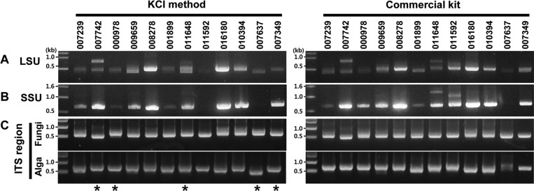 Electropherograms of PCR products amplified using 12 representative DNA samples species extracted using our KCl method, and the commercial kit. Comparison of DNA samples extracted with our KCl method (on left) and commercial kit (on right). PCR amplifications were as follows: A, large subunit RNA (LSU) region; B, small subunit RNA (SSU) region; and C, internal transcribed spacer (ITS) specific fungal and algal primer region; upper and lower gel sections show fungi and algae, respectively. Asterisks: Five amplified PCR products generated by our KCl method were selected for sequencing fungal and algal ITS regions. These sequences were registered in GenBank. Representative lichen species: 007293, Flavoparmelia carperata ; 007742, Heterodermia diadermata ; 000978, Heterodermia hypoleuca ; 009659, Lobaria discolor ; 008278, Lobaria retigera ; 001899, Peltigera praetextata ; 011648, Myelochroa entotheiochroa ; 011592, Myelochroa irrugans ; 016180, Parmotrema tinctorum ; 010394, Peltigera polydactylon ; 007637, Punctelia subflava ; 007349, Umbilicaria esculenta .