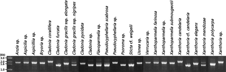 PCR product electropherograms of the full-length internal transcribed spacer regions and 26S rRNA ( > 1.0 kb) amplified from representative 26 DNA samples derived from taxa at different taxonomic levels (i.e., genus to subspecies) extracted with our KCl method.