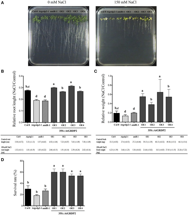 Effect of salt stress on Arabidopsis Col-0, Atgrdp2-1 , amiR-1 , and AtGRDP2 overexpression lines. (A) Photographs of Arabidopsis (21 day-old) seedlings grown in 0.5x MS medium with 0 and 150 mM NaCl for 7 days (B) Data of primary root length, and relative root length (treated with 150 mM NaCl/untreated) for each line was represented graphically. (C) Data of fresh weight, and relative fresh weight (treated with 150 mM NaCl/untreated) for each line was represented graphically. (D) Survival rate of the Col-0, Atgrdp2-1 , amiR-1 , and AtGRDP2 overexpression lines after 7 days of salt stress recovery. Data are mean ± SE ( n = 10) from three replicates. Different letters indicate significant differences ( P