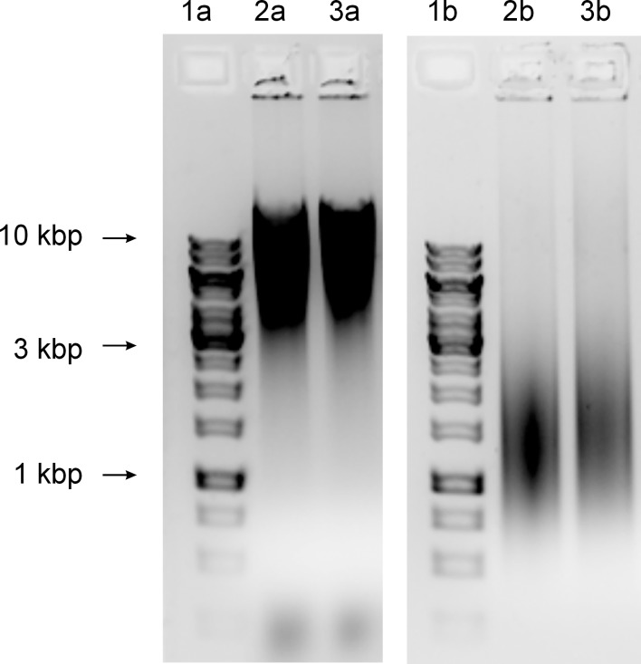 Alkaline hydrolysis of the genomic DNA. DNA was isolated from the ∆ rnhB mutants and M. smegmatis mc 2 155. The strains were grown in 7H9 medium supplemented with OADC. The DNA samples were treated with either NaOH or NaCl as a control. The fragmentation of the samples was visualized on alkaline agarose gels. Lanes 1a) GeneRuler 1-kb DNA Ladder, 2a) M. smegmatis mc 2 155 control DNA, 3a) ∆ rnhB mutant control DNA, 1b) GeneRuler 1-kb DNA Ladder, 2b) M. smegmatis mc 2 155 DNA hydrolyzed with NaOH, and 3b) ∆ rnhB mutant DNA hydrolyzed with NaOH. The level of ribonucleotide incorporated in the DNA of both strains was similar, as we did not observe differences in fragmentation of genomic DNA.