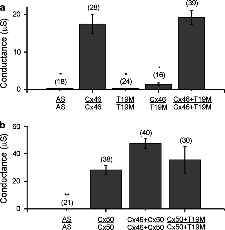 T19M does not induce gap junctional coupling when expressed by itself, and it acts as a loss-of-function mutation without dominant-negative inhibition when co-expressed with wild-type lens connexins. Bar graphs show mean gap junctional conductances in pairs of oocytes expressing different combinations of wild-type and mutant lens connexins as determined using the double two-electrode voltage clamp technique. a Rat Cx46 or T19M were expressed alone or in combination with each other. b Mouse Cx50 was expressed alone or in combination with either rat Cx46 or T19M. AS indicates oocytes that were injected with no cRNA (i.e., Xenopus Cx38 antisense oligonucleotide alone). The number of pairs tested is indicated within parentheses . * p