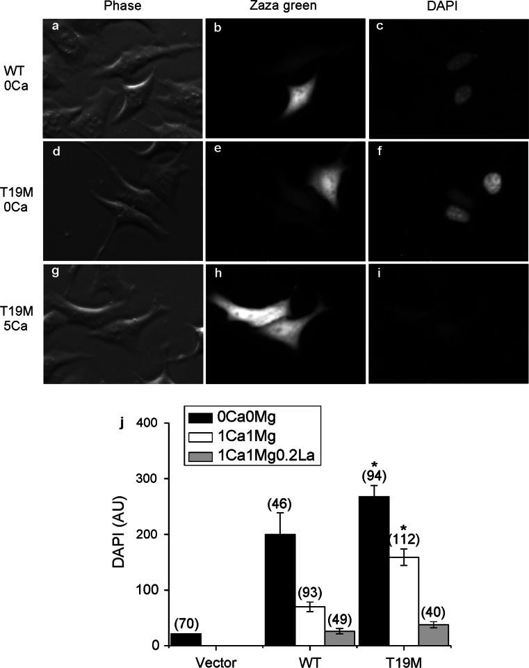 T19M causes increased uptake of connexon-permeant dyes. Photomicrographs show examples of HeLa cells that were transfected with wild-type rat Cx46 ( a – c ) or T19M ( d–i ) (using the vector PBI-CMV3 which also drives expression of Zaza green) and incubated a day later with DAPI in Na gluconate Ringer's solution containing 0 mM Ca 2+ ( a – f ) or 5 mM Ca +2 ( g – i ) for 20 min. Phase contrast images ( a , d , g ). Zaza-green fluorescence ( b , e , h ). DAPI fluorescence ( c , f , i ). After a 20-min incubation in control solution containing 0 mM Ca 2+ , cells expressing T19M showed DAPI uptake ( e , f ) that was mostly inhibited by 5 mM Ca 2+ ( h , i ). Bar graph summarizes the quantification of the DAPI uptake data ( j ). Data are graphed as mean ± SEM. The number of cells tested is indicated within parentheses . * p