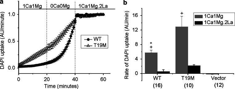 The rate of DAPI uptake is increased by lowering divalent cations and inhibited by La 3+ . Average time course of DAPI uptake by transfected HeLa cells in control solution (1 mM Ca 2+ , 1 mM Mg 2+ ), in external solutions with no added divalent cations and in control solution plus 200 µM La 3+ . a Wild-type rat Cx46 ( closed circles ); T19M ( open triangles ). To measure changes in the rate of dye uptake over time, the mean DAPI fluorescence intensity per pixel from ROI's located in the nuclei of Zaza-green positive cells were normalized to mean DAPI fluorescence intensity of the ROI's at 60 min, averaged and plotted as a function of time. The cells were initially bathed in control solution (containing 1 mM Ca 2+ , 1 mM Mg 2+ ). Then, the cells were exposed to a solution containing no added divalent cations followed by reperfusion with control solution containing 200 μM La 3+ . All the solutions contained 4 μM DAPI. b Bar graph shows the rates of DAPI uptake in cells expressing wild-type Cx46, T19M, or vector alone in the presence of 1 mM Ca 2+ , 1 mM Mg 2+ ( gray bar ); or 1 mM Ca 2+ , 1 mM Mg 2+ , 0.2 mM La 3+ ( black bar ). Data are presented as the mean ± SEM. * p