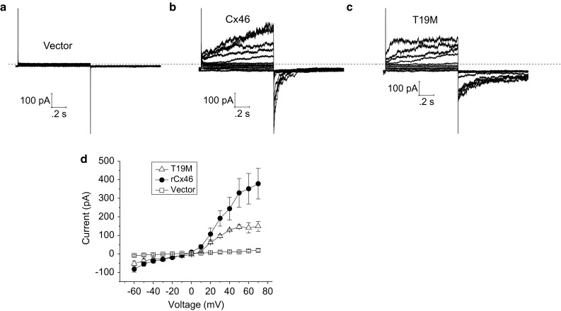 Representative families of current traces recorded from single HeLa cells transfected with vector alone ( a ), wild-type rat Cx46 ( b ), or T19M ( c ). Families of current traces were recorded in response to a series of voltage clamp steps between −60 and 50 mV in increments of 10 mV from a holding potential of −60 mV. Dashed line indicates zero current level. d Average steady-state I–V relationships for vector alone ( open squares , n = 5), wild-type ( solid circles , n = 4), and T19M ( open triangles , n = 3)