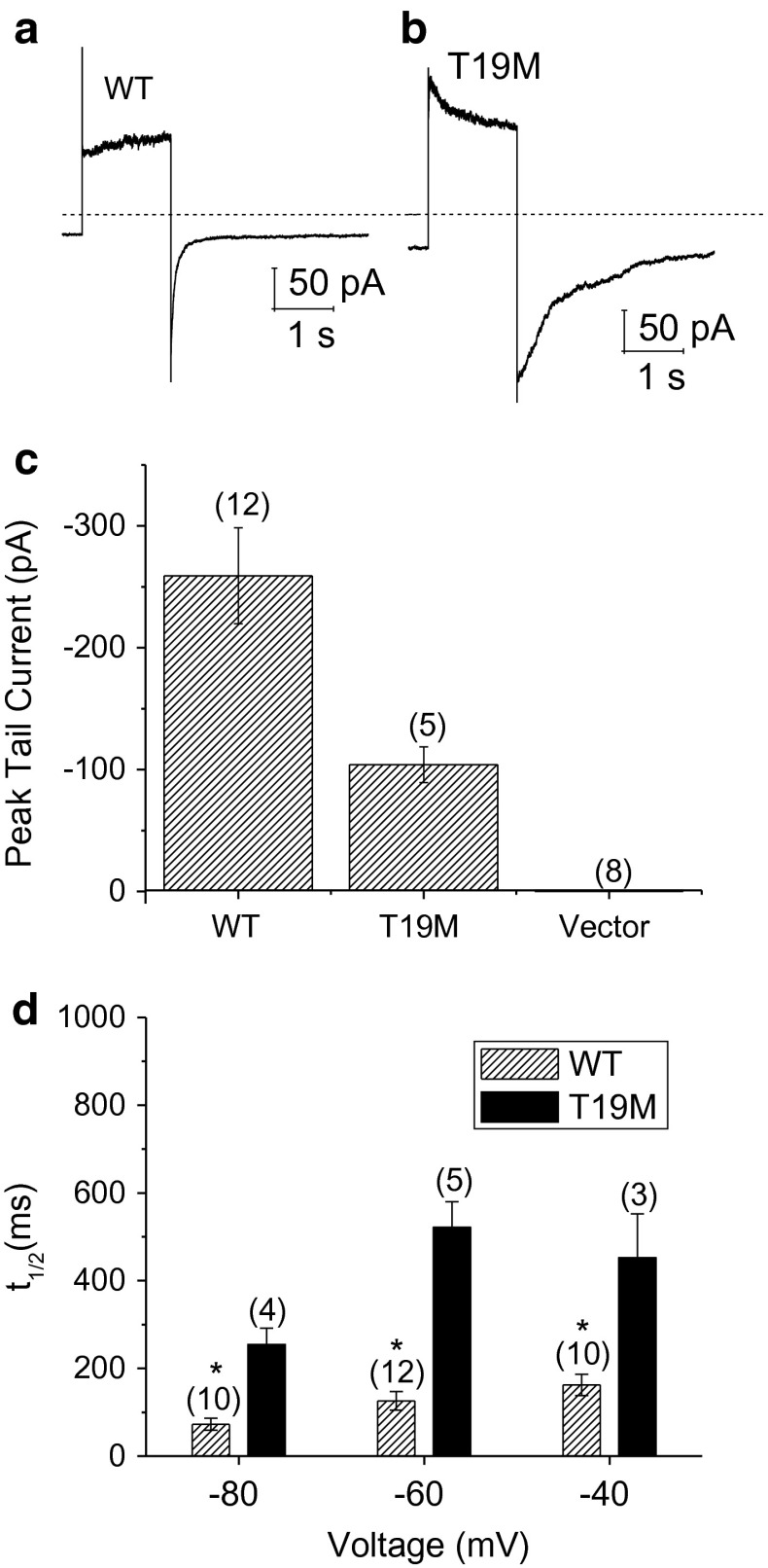 T19M hemi-channels show alterations in voltage gating. Ensemble averaged current traces recorded from cells expressing wild-type rat Cx46 ( a ) or T19M ( b ) in response to a 2-s voltage clamp step to 80 mV followed by a hyperpolarizing step to −60 mV. The holding potential was −60 mV. Dashed line indicates zero current level. c Averaged peak tail currents at −60 mV. The number of cells tested is indicated within parentheses . d Bar graph summarizes the t 1/2 's of deactivation of peak tail currents for wild-type rat Cx46 ( hatched bars ) and T19M ( black bars ) at −80, −60, and −40 mV. Data are graphed as mean ± SEM. * p