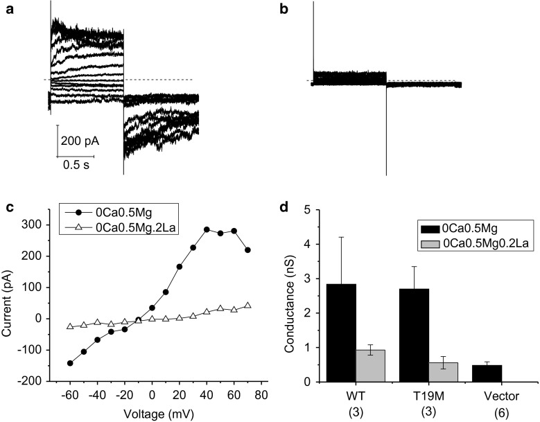 Effect of lanthanum ions. Currents before ( a ) and after the application of La 3+ ( b ; 200 µM) recorded from a HeLa cell expressing T19M. Families of current traces were recorded in response to a series of voltage clamp steps between −60 and 70 mV in increments of 10 mV from a holding potential of −60 mV. Dashed line indicates zero current level. c I–V relations obtained from the data shown in ( a , b ). The current was measured at the end of the 1-s pulse and plotted as a function of voltage. The concentrations of divalent cations in the bath solution were reduced to zero added Ca 2+ and 0.5 mM Mg 2+ to augment the size of the hemi-channel currents. d Bar graph summarizes the input conductance measured at −60 mV in HeLa cells expressing wild-type Cx46, T19M, or vector ( alone ) when exposed to extracellular solutions containing 0 mM Ca 2+ , 0.5 mM Mg 2+ ( black bars ) or 0 mM Ca 2+ , 0.5 mM Mg 2+ , 0.2 mM La 3+ ( gray bars ). The number of cells analyzed is indicated within parentheses