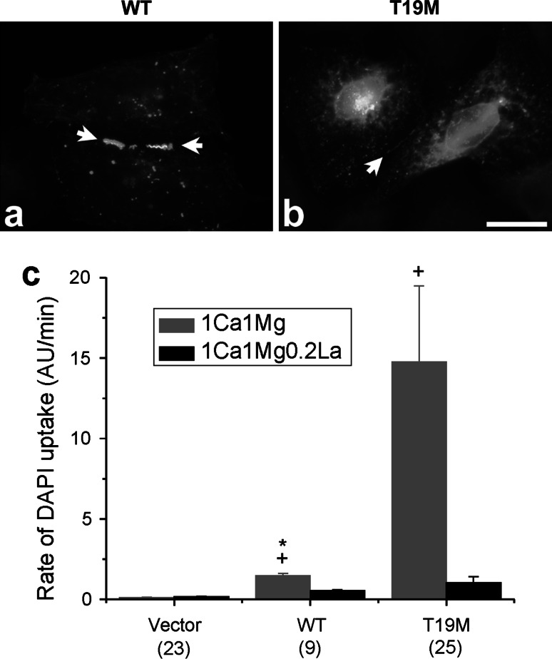 Effects of T19M mutation on human Cx46. Photomicrographs showing the distribution of human wild-type Cx46 ( a ) and T19M ( b ) in transfected HeLa cells. Bar 30 µm. c Bar graph summarizes the DAPI uptake data for vector alone, human wild-type Cx46 and T19M obtained in transfected HeLa cells when exposed to extracellular solutions containing 1 mM Ca 2+ , 1 mM Mg 2+ ( gray bars ) or 1 mM Ca 2+ , 1 mM Mg 2+ , 0.2 mM La 3+ ( black bars ). Data are graphed as mean ± SEM. * p