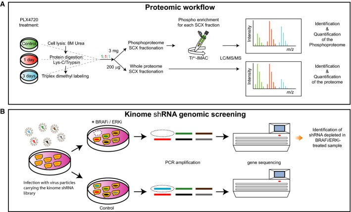 Proteomic and genomic workflows Cell lysates from control samples and samples derived from 1 and 3 days after PLX4720 treatment were digested with Lys-C/Trypsin, labeled by triplex dimethyl approach and mixed in 1:1:1 ratios. For protein expression analysis, 200 μg of digested lysate was fractionated by SCX and each fraction was analyzed by LC/MS/MS to determine the relative protein expression levels for every time point compared to the control. For the phosphoproteome, 3 mg of digested lysate was fractionated by SCX and each fraction was enriched for phosphopeptides by Ti 4+ -IMAC prior to LC/MS/MS analysis. Melanoma cells were transduced with a lentiviral kinome library, containing ˜4,000 shRNAs targeting ˜500 kinases. Cells were treated either with DMSO (control) or with BRAFi or ERKi. Genomic DNA was isolated, and hairpins were amplified by PCR. Using deep sequencing, the hairpins that specifically dropped out in the treated sample were identified. In this case, the absence of the blue bar in deep sequencing indicates schematically a synthetic lethal effect of the shRNA and BRAFi/ERKi.