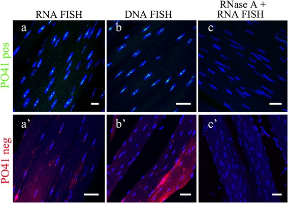 PO41 repeat is transcribed in chicken skeletal muscle cells.  FISH with PO41pos ( green , upper row) and PO41neg ( red , bottom row) probes on skeletal muscle cryosections.  (a, a')  DNA/RNA hybridization revealed transcripts from both strands of PO41 repeat in cell nuclei.  (b, b')  DNA/DNA hybridization (positive control) revealed clusters of PO41 repeat in all cell nuclei.  (c, c')  RNase A treatment before DNA/RNA hybridization (negative control) removed all hybridization signals. Nuclei were counterstained with DAPI. Scale bars: 10 μm  (a) ; 20 μm  (b, c, a') ; 30 μm  (b', c') .