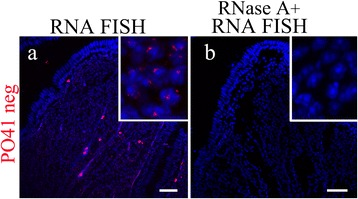PO41 repeat is transcribed in Japanese quail somatic cells.  FISH with PO41neg ( red ) probe on Japanese quail oviduct cryosections (bottom row).  (a)  DNA/RNA hybridization revealed transcripts of PO41 repeat in all cell layers.  (b)  RNase A treatment before DNA/RNA hybridization (negative control) removed nuclear hybridization signals. Nuclei were counterstained with DAPI. Scale bars: 40 μm.