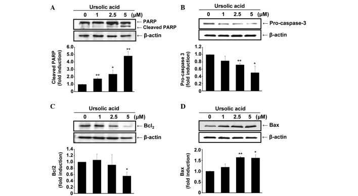 Ursolic acid regulates the expression of apoptosis-associated proteins in SNU-484 cells. Cells were treated with various concentrations of ursolic acid (0, 1.0, 2.5 and 5.0 μM) for 24 h and the protein expression levels of levels of (A) PARP, (B) pro-caspase 3, (C) Bcl-2 and (D) Bax were determined by performing an immunoblot analysis. * P