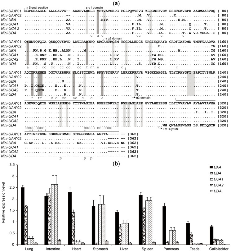 """Amino acid alignments (a) and expression levels (b) of Nini -MHC class I genes. (a) Dots and dashes indicate identities and gaps within the first sequence. Conserved features along sequences are represented as follows: intra- and interdomain contacts (light grey shading), intradomain disulfide bridges (wide bracket), N-glycosylation site (""""n""""), CD8 binding sites (""""8""""), essential CD8 co-receptor sites (*), phosphorylated sites in cytoplasmic (cyt)-tail (""""p""""), antigen-peptide main chain-binding sites (i.e., antigen-binding sites anchoring two ends of peptides) (dark grey shading; """"a"""" or """"f"""" for A or F pocket, respectively) 36 37 38 39 41 , antigen-peptide non-main chain-binding sites (""""c"""") (i.e., antigen-binding sites binding the middle segment of peptides) 37 . (b) Expression levels of the five genes in nine different tissues were examined by qRT-PCR and normalized to the housekeeping gene GAPDH . The relative expression level of the Nini -I genes was calculated using the 2 −ΔΔCT method 54 . The two nearly identical loci, UCA1 and UCA2 , were simultaneously amplified using a single set of primers, and the average values were presented herein as the potential expression levels of each gene."""