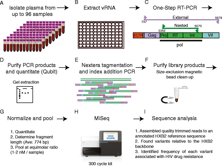 Preparation and sequencing of samples. (A) Plasma is isolated from whole blood from up to 96 samples. (B) Viral RNA is isolated from up to 1 ml of plasma. (C) Viral RNA is used in a one-step RT-PCR amplification of a 2.8 kb region of the pol gene. When nested PCR is required, a 4.8 kb region is amplified as an external PCR followed by the 2.8 kb nested PCR of the pol gene. (D) PCR products are purified either by gel electrophoresis followed by gel extraction or through size-exclusion magnetic beads and then quantitated using the Qubit system. (E) Purified products are randomly fragmented and subjected to a limited cycle PCR to add sequencing adaptors and indices used for multiplexing samples. (F) Newly created libraries are purified by size-exclusion magnetic beads to remove short fragments. (G) The average size of the library fragments are calculated by bioanalysis and final concentration of the libraries calculated by Qubit are used to normalize each library and pool multiple libraries together at equimolar ratios. (H) Libraries are sequenced on the <t>Illumina</t> <t>MiSeq.</t> (I) Geneious Pro Software is used to trim sequencing reads based on quality scores and assemble the reads to a HXB2 reference sequence annotated with HIV drug resistance mutations. Geneious is used to identify variants within each sample relative to HXB2. Finally, variants associated with drug resistance mutations were extracted and their frequencies noted. Details about the analysis parameters are outlined in the Methods section.