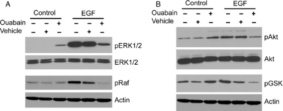 Ouabain inhibits EGF-induced Erk1/2 and Akt signaling. DAOY cells were incubated for 15 min with EGF in the presence or absence of 50 μ mol/L ouabain. (A) Activation of the MAPK signaling cascade was monitored by immunoblotting with phospho-specific anti-Erk1/2 and anti-Raf antibodies. Total Erk1/2 and actin levels confirm equal loading, respectively. (B) Activation of the Akt signaling cascade was determined with anti-phospho-Akt and anti-phospho-GSK antibodies that recognize only the activated forms of these proteins. Equal loading of cell lysate was confirmed with total Akt and actin immunoblots, respectively. EGF, epidermal growth factor.