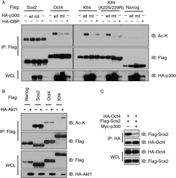 Oct4 and Klf4 are acetylated by p300 in vivo. (A) Whole cell lysates (WCLs) of 293T cells transfected with HA-tagged p300 or CBP with indicated Flag-tagged constructs were subjected to immunoprecipitation (IP) with Flag antibody. The Flag-IPs and WCLs were immunoblotted with indicated antibodies. Acetylation was detected by a Lys-acetylation (Ac-K) antibody. (B) WCLs of 293T cells transfected with indicated constructs were subjected to immunoprecipitation with Flag antibody. The Flag-IPs and WCLs were immunoblotted with indicated antibodies. (C) WCLs of 293T cells transfected with indicated constructs were subjected to immunoprecipitation with HA antibody. The HA-IPs and WCLs were immunoblotted with Flag and HA antibodies.