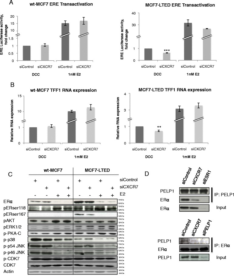 CXCR7 is required for the interaction between oestrogen receptor and PELP1. wt-MCF7 and MCF7-LTED cells were transfected with si control or si CXCR7 . (A) Oestrogen receptor/oestrogen response element (ER/ERE) transactivation was monitored with an ERE-linked luciferase reporter and pCH110 (β-galactosidase control) and expressed relative to dextran-coated charcoal (DCC) control. (B) Expression of TFF1 was assessed by quantitative RT-PCR, as previously described. Error bars represent ± SEM. * P