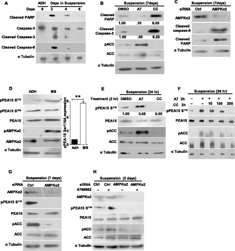 AMP-activated protein kinase (AMPK) inhibits apoptosis through phosphoprotein enriched in astrocytes 15 kDa (PEA15) phosphorylation. Primary human mammary epithelial cells (HMECs) cultured under following conditions were harvested and subjected to immunoblot analysis for the specified proteins: (A) HMECs seeded in adherent (ADH) condition for six days or in suspension (in ultra-low (UL) plates) for two, four or six days; n = 3. (B) HMECs seeded in suspension in the presence of 100 μM AMPK activator (A769662), 10 μM AMPK inhibitor (Compound C) or dimethyl sulphoxide (DMSO) (vehicle control) for a week; n = 3. (C) HMECs seeded in UL plates and transfected with control small interfering RNA (siRNA) or siRNA targeting AMPK α2 (Dharmacon) were harvested after one week; n = 4. (D) HMECs seeded in ADH condition or in suspension in UL plates for a week. Graph represents densitometric analysis of western blots to quantify phospho PEA15 Ser 116 relative to total PEA15. Error bars represent standard error of the mean (SEM); (n = 6). (E) HMECs seeded in UL plates for 24 hrs and treated with DMSO (vehicle control), 100 μM AMPK activator (A769662), or 10 μM AMPK inhibitor (Compound C) for a period of 2 hrs; n = 3. (F) HMECs seeded in UL plates and treated with increasing amounts of AMPK inhibitor Compound C, in the presence of a constant amount of AMPK activator A769662, for 2 hrs; n = 3. (G) HMECs seeded in UL plates and transfected with control siRNA or siRNA targeting AMPK α2 and harvested two days following transfection; n = 4. (H) HMECs seeded in UL plates and transfected with control siRNA or siRNA targeting AMPK α2 were treated with 100 μM AMPK activator (A769662) after two days following transfection for 2 hrs and harvested, n = 3.