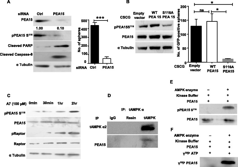 Phosphoprotein enriched in astrocytes 15 kDa (PEA15) is a novel AMP-activated protein kinase (AMPK) substrate. (A) Primary human mammary epithelial cells (HMECs) cultured in ultra-low (UL) plates were transfected with control small interfering RNA (siRNA) or siRNA targeting PEA15. Two days posttransfection, a quarter of the cells were harvested and subjected to immunoblot analysis for the specified proteins (i), while the rest were scored for total number of mammospheres (MS) formed at the end of a week (ii). Error bars represent standard error of the mean (SEM); n = 4. (B) Primary HMECs cultured in UL plates were infected with control (empty vector) CSCG lentivirus, or those encoding for PEA15-WT or PEA15-S116A mutant with similar infection efficiencies (as scored by GFP-positive cells). Two days following infection, 1 × 10 5 transduced cells were seeded in methylcellulose and total number of GFP-positive mammospheres formed was counted at the end of a week. Error bars represent standard error of the mean (SEM); n = 3. (C) Primary HMECs seeded in UL plates were treated with AMPK activator A769962 (100 μM) for 0 min, 30 min, 1 hr and 2 hrs, and subjected to immunoblot analysis for the specified proteins; n = 3. (D) Primary HMECs seeded in UL plates were subjected to immunoprecipitation with total AMPK antibody followed by immunoblotting for specified proteins. Rabbit immunoglobulin G (IgG)-treated lysate and resin alone served as controls, n = 3. (E) Commercially procured heterotrimeric AMPK and pure PEA15 were incubated in an in vitro kinase assay buffer in the presence of 50 μM adenosine triphosphate (ATP) and 0.1 mM AMP for 30 min, and then subjected to immunoblot analyses with commercially available antibodies that specifically recognize PEA15 Ser 116 phosphorylation; total PEA15 antibody served as a loading control. (F) Autoradiography of in vitro kinase assay using pure AMPK and PEA15 proteins performed in the presence of γ 32 P-labeled ATP (0.3 μCi) for 30 min; n = 3.