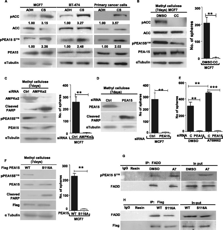 AMP-activated protein kinase <t>(AMPK)-phosphoprotein</t> enriched in astrocytes 15 kDa (PEA15) axis is critical for the anchorage-independent growth of breast cancer cells. (A) Michigan Cancer Foundation 7 breast cancer cell line (MCF7), BT-474, and primary breast cancer-derived cells cultured in adherent (ADH) condition or as cancer spheres (CS) for a week were harvested and subjected to immunoblotting; n = 3. (B) MCF7 cells cultured in methylcellulose for a week in the presence of 10 μM AMPK inhibitor Compound C or dimethyl sulphoxide (DMSO) (vehicle control) were subjected to immunoblotting. Graph represents number of spheres formed/20 fields. Error bars represent standard error of the mean (SEM); n = 3. (C-F) Adherent MCF7 breast cancer cells were transfected with specified small interfering RNA <t>(siRNA)</t> <t>oligos/plasmids</t> (see below). Two days posttransfection, 1 × 10 5 cells/35 mm dish were seeded in methylcellulose. After 48 hrs, cells were retrieved from some dishes and subjected to immunoblot analyses for the specified proteins. Parallel dishes were allowed to form spheres; graph represents sphere formation at the end of a week, error bar represents SEM: (C) control siRNA or siRNA targeting AMPK <t>α2,</t> n = 4; (D) control siRNA or siRNA targeting PEA15, (n = 4); (E) control siRNA or siRNA targeting PEA15 and seeded in methylcellulose in the presence of 100 μM AMPK activator, A769662; DMSO served as vehicle control, n = 4; (F) transfected with CSCG constructs expressing flag-tagged wild-type (WT) or S116A mutant of PEA15, n = 4. (G) MDAMB231 cells were treated with DMSO or 100 μM AMPK activator, A769662, and immunoprecipitated with anti-Fas-associated death domain protein (FADD) antibody. The immunoprecipates were resolved by SDS-PAGE followed by immunoblotting for specified proteins, n = 3. (H) BT 474 cells stably expressing flag-tagged WT-PEA15 or PEA15-S116A mutant were seeded in methyl cellulose for two days, retrieved and immunoprecipitate