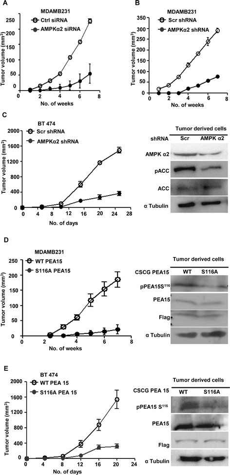 AMP-activated protein kinase (AMPK)-phosphoprotein enriched in astrocytes 15 kDa (PEA15) axis is critical for tumorigenicity of breast cancer cells. (A) Breast cancer cell line derived from metastatic site (pleural effusion) (MDAMB231) cells were transfected with control small interfering RNA (siRNA) or siRNA targeting AMPK α2 and injected subcutaneously (1 × 10 6 cells/injection) into six nude mice (control siRNA transfected cells in the left flank, and AMPK α2 siRNA-transfected cells in the right flank) and monitored for tumor formation for seven weeks. ( B and C ) MDAMB231 cells (B) and BT 474 cells (C) stably expressing short hairpin RNA (shRNA) pool against AMPK α2 or scrambled shRNA were introduced subcutaneously (1 × 10 6 cells/injection) into three nude mice and tumor formation was monitored for the indicated time period. Control shRNA-expressing cells were injected in the left flank, and AMPK α2 shRNA-expressing cells in the right flank. Tumors were resected and tumor-derived cells subjected to immunoblotting for specified proteins. ( D and E ) MDAMB231 cells (D) and BT 474 cells (E) stably expressing CSCG-WT-Flag PEA15 or CSCG-S116A-Flag-PEA15 were injected subcutaneously (1 × 10 6 cells/injection) into six nude mice and tumor formation was monitored for the indicated time period. Cells stably expressing wild-type (WT)-PEA15 were injected in the left flank, while cells stably expressing S116A-PEA15 were injected in the right flank. Tumors were resected and tumor-derived cells subjected to immunoblotting for specified proteins.