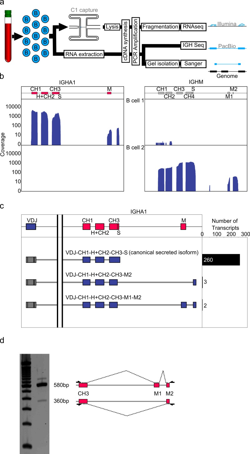 IGHA 3′ UTR contains novel splice junction. a) Full length cDNA of single B cells was generated using the C1 autoprep system, fragmented using Nextera XT, and sequenced using Illumina sequencers (RNAseq). Additionally, RNA was extracted from bulk B cells and the IGH transcripts were analyzed using the PacBio sequencer (IGH-Seq) or conventional Sanger sequencing after gel isolation b) RNAseq reads of two B cells were aligned to the IGH locus. Coverage density is shown as a histogram for both IGHA1 and IGHM exons for both B cells. Coverage density in the IGHA1 expressing cell indicated a splicing event in the canonical IGHA membrane exon. c) PacBio single molecule sequencing reads were mapped to the IGHA1 locus. Reads containing the whole VDJ region as well as either S or M exons were grouped and quantified. This confirmed the presence of a splice site in the canonical IGHA1 membrane exon resulting in two exons (named IGHA1 M1 and M2). d) Gel separation of amplicons generated from bulk B cell RNA using primers specific for exon J4 and putative exon IGHA1 M2 on the left. Schematic representation of isoform splice structure on the right. The longer band confirmed the IGHA1 M1 to M2 splicing event, the shorter band represents a novel isoform of IGHA1.