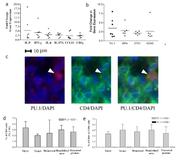 Increased expression of IL-9 and associated genes in AC and the detection of Th9 cells in allergic contact dermatitis (A) Mean relative-gene expression of IL-9, was elevated on average 5 (range 2–18) fold higher than paired control skin. IL-9 increase is similar to increases in IFN-γ, IL-4, IL-17A, CCL11 and CD3ε. (B) Mean relative gene expression of IL-9/Th9-associated transcription factors PU.1, IRF4, ETS1 and GcN5 was 2–3 (range 1.5–8) fold greater than paired control skin. Sections of skin biopsy specimens from a representative (C) Stained slides from an ACD patient were stained with anti-PU.1 (red) and anti-CD4 (green); nuclei are counter-stained with DAPI (blue). Stained T lymphocytes were identified as (D) PU.1 + /CD3 + or (E) PU.1 + /CD4 + . No PU.1 + /CD8 + cells were identified. To quantify cell populations, twelve fields from each double-stained section were counted with a mean of 40 infiltrating cells per field. Mean +/− SEM is depicted. For gene expression studies, skin biopsy samples were taken from positive patch tests to nickel or cobalt from seven different patients (ACD 6–12 in Table 1 ). For the immunochemistry, skin biopsy specimens were taken from five different positive patch tests in five different patients (ACD1–5 in Table 1 ).